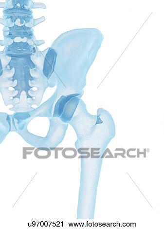 3d rendered illustration of a human skeletal hip stock ...