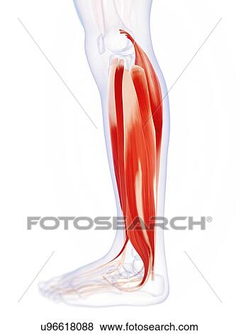 Stock Illustration Of Human Calf Muscles Artwork U96618088 Search