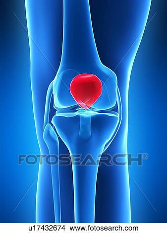 Drawings Of Human Knee Cap Artwork U17432674 Search Clip Art
