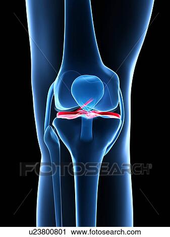 Clip Art Knee Ligaments
