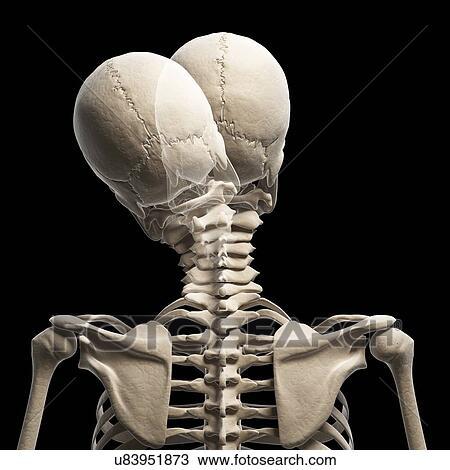 Drawing Of Human Skull And Neck Bones Artwork U83951873 Search
