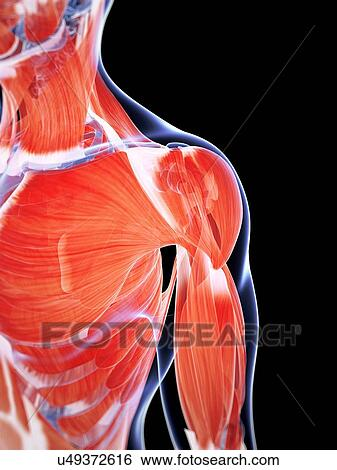Slide likewise Leg as well Mylohyoiod Md also Maxresdefault additionally Gr Lrg. on human muscular system
