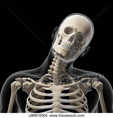 drawing human skull and neck bones artwork fotosearch search clip art illustrations