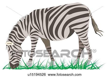 Zebra Eating Grass Drawing