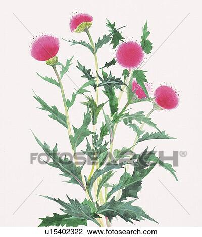 Clip Art of Thistle, close up u15402322 - Search Clipart ...