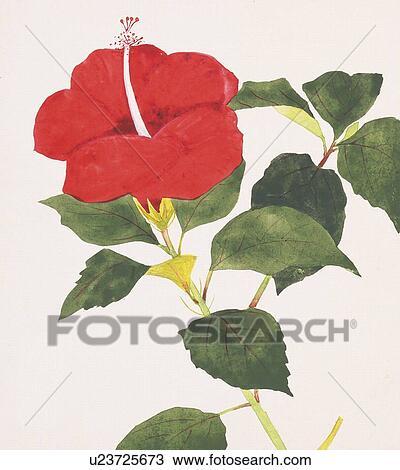 Dessin grand plan de hibiscus u23725673 recherchez des cliparts des illustrations et des - Dessin hibiscus ...