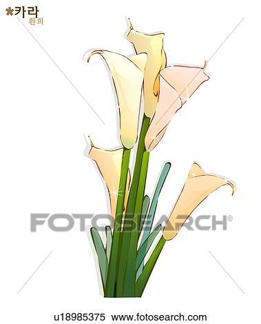 Archivio illustrazioni fiori natura piante calla for Calla pianta