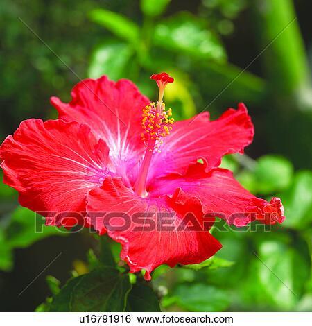 Archivio di immagini rosso fiori ibisco fiori pianta for Ibisco rosso