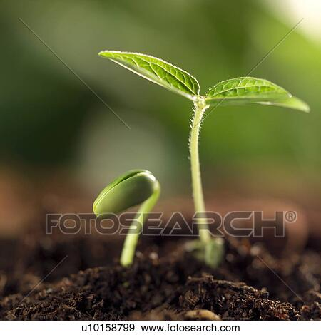banque de photographies pousse plante bourgeon u10158799 recherchez des photos des images. Black Bedroom Furniture Sets. Home Design Ideas
