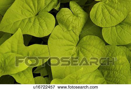 image patate douce vigne plante u16722457 recherchez. Black Bedroom Furniture Sets. Home Design Ideas
