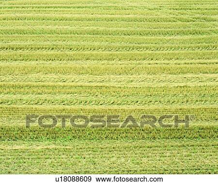 Field Crops Clipart Golden Rice Field Crops