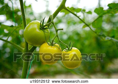 Stock Photo of Tomatoes on vine u19312512 - Search Stock ...