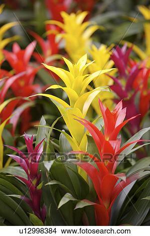 stock foto nahaufnahme von ananas pflanze u12998384. Black Bedroom Furniture Sets. Home Design Ideas