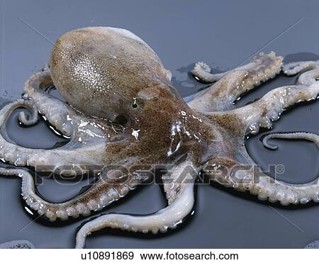 Stock Photograph Of Ocellated Octopus U10891869 Search