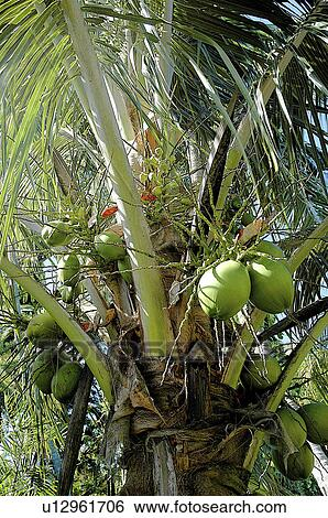 Archivio di immagini botanica palma pianta frutta for Palma pianta