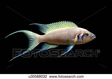 Stock photo of africa fish tanganyika lake cichlids for Lake tanganyika fish