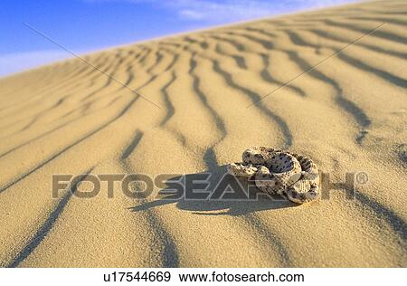 Stock Photograph of Sidewinder rattlesnake (Crotalus cerastes ...