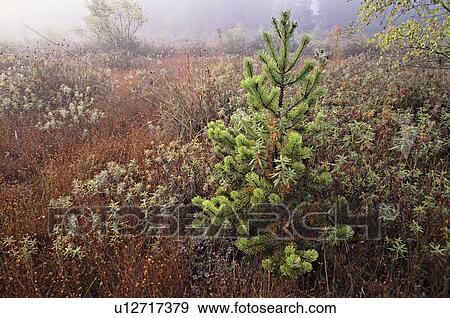 岸, 松树, 同时,, labrador, 茶, 在中, 燃烧, bog, 三角形, 英国