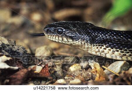 Immagini serpente ratto nero orientale ratsnake for Serpente nero italiano