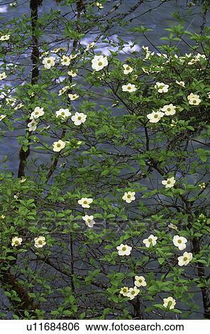 stock images of flowering pacific dogwood cornus