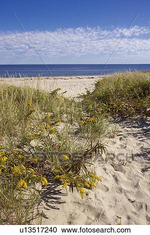 Stock photography of goldenrod flowering along path to for Abri mural cape cod