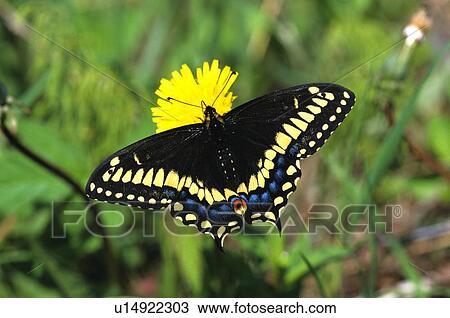 Stock foto kurz beschattet schwarz swallowtail - Gartenbau beschattet ...