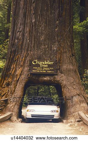 Stock Photo of Giant Sequoia tree with car passing through, Kings ...