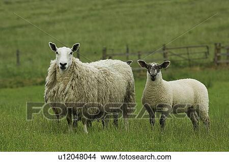 写真館、イメージ館 - 品種間交雑種, Cheviot, ラバ, 雌羊,... 品種間交雑種,
