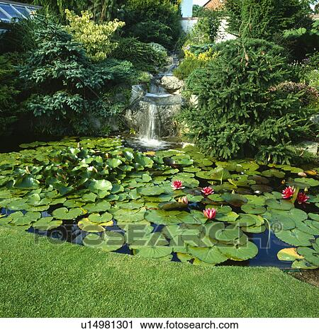 Stock Photography Of Pink Water Lily Plants Covering A