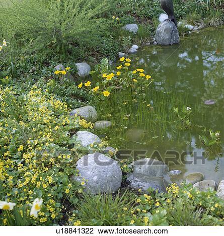 Archivio fotografico giallo kingcups e grande pietre for Stagno in giardino
