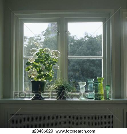 Archivio fotografico bianco geranio e colorito bulbo - Davanzale interno finestra ...