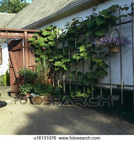 Archivio di Immagini - verde, rampicante, piante, su, parete, graticcio u1613...