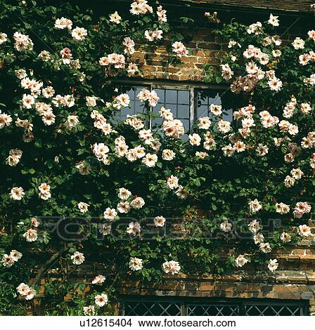 Close Up Of Cream Climbing Roses On Old Brick House