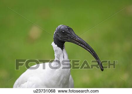 Images rejet commun oiseau beaucoup mouton suprise for Oiseau commun