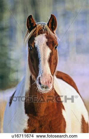 Stock photo of horse winter front view portrait alert pinto one horse winter front view portrait alert pinto one sciox Choice Image