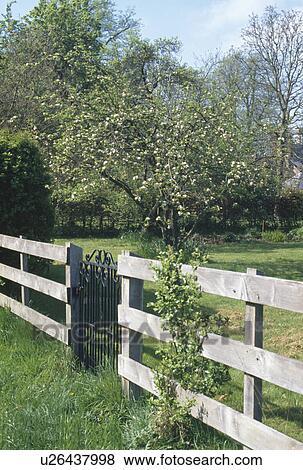 images porte fer travaill dans cl ture bois arbre fleurissant dans pelouse dans. Black Bedroom Furniture Sets. Home Design Ideas