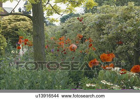 Archivio fotografico rosso papaveri crescente sotto for Albero per piccolo giardino