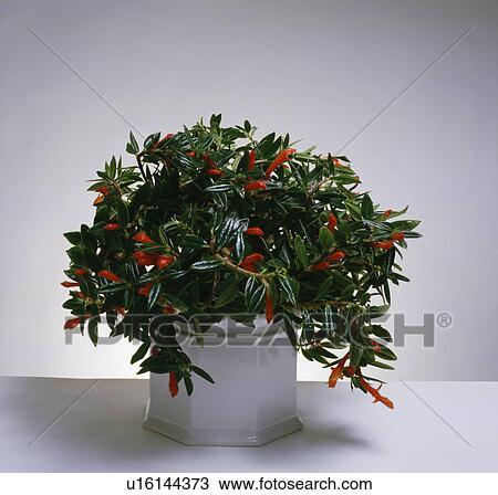 Banque de photo gros plan de plante poisson rouge for Plante bocal poisson rouge