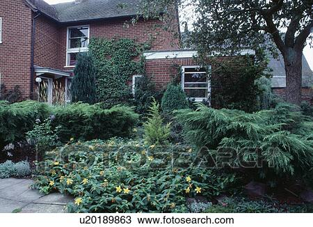 Stock Photo Of Yellow Hypericum And Low Growing Conifer