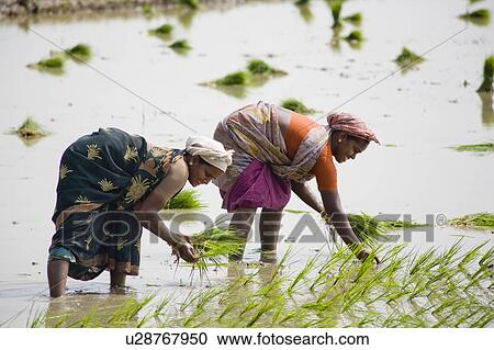 Stock Photography Of Two Women Planting Rice Plants In A