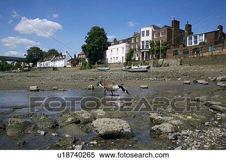 Canada Goose chateau parka outlet official - Stock Image of England, London, Chiswick. Canada goose paddling in ...