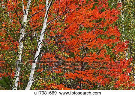 Colecci n de fotograf a arce rojo y abedul blanco rbol trunks sudbury ontario canada - Abedul blanco ...