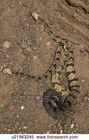 rattlesnakes in indiana