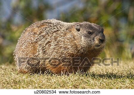 groundhog day norsk