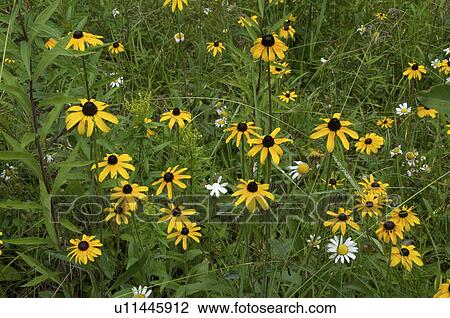 how to grow wild daisy