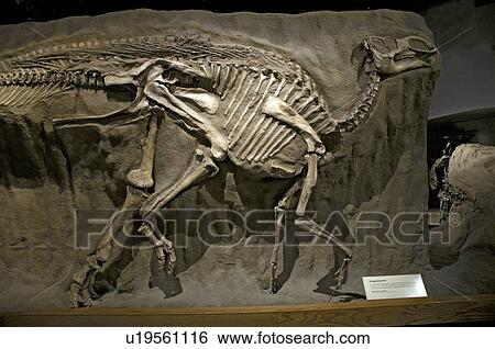 Stock Images of Gryposaurus notabilis. Cretaceous period ...