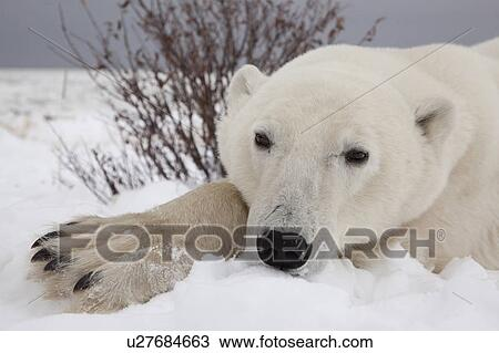 close up wide angle head shot of polar bear laying down ursus maritimus on the coast of hudson bay at the seal river estuary near churchill manitoba