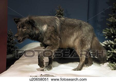 Stuffed or taxidermy display of Timber Wolf (Canis lupus), Kananaskis ...