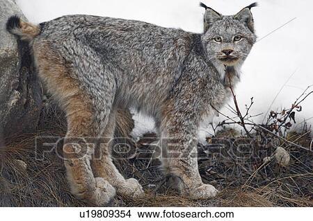 图吧- 野, 山猫, (lynx, canadensis), 在中, 早, 春天, 碧玉国家的