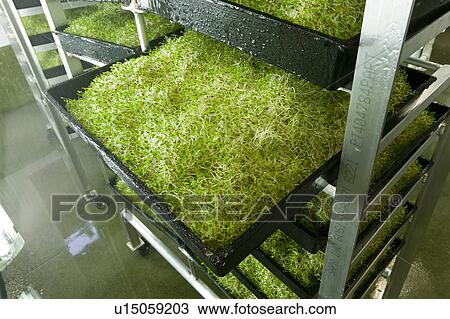 how to grow alfalfa sprouts in trays